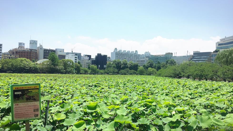 上野-不忍池-蓮池