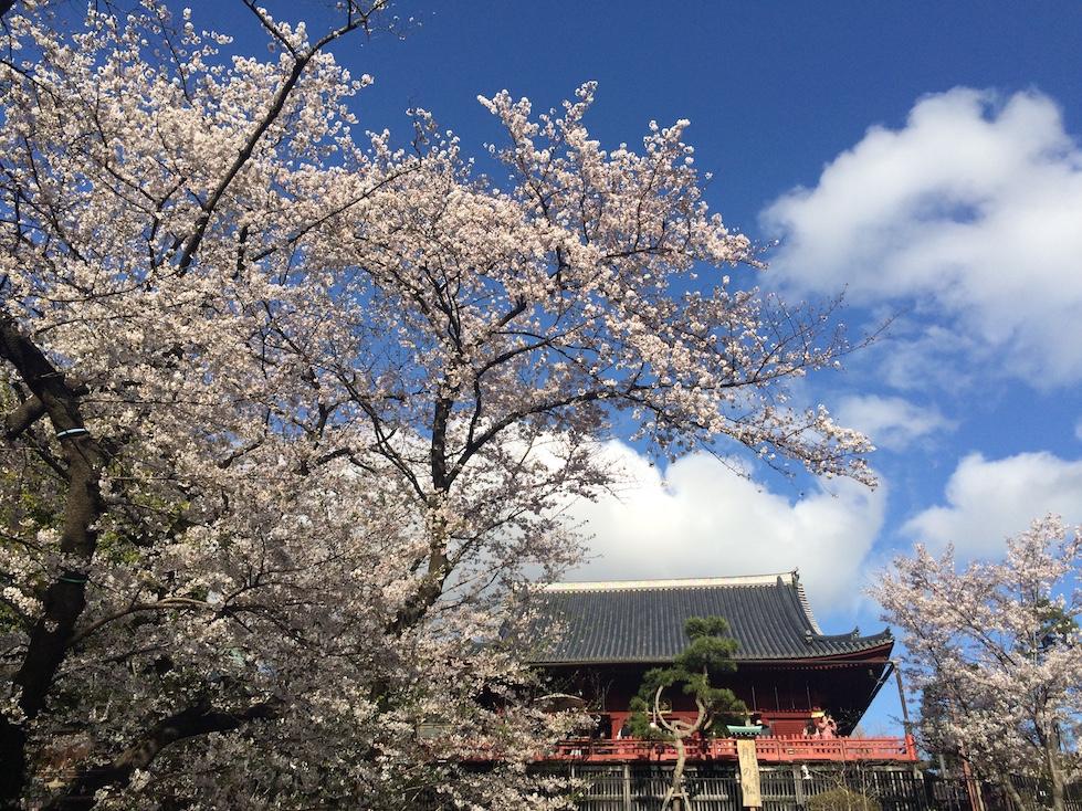 上野櫻花-清水觀音堂