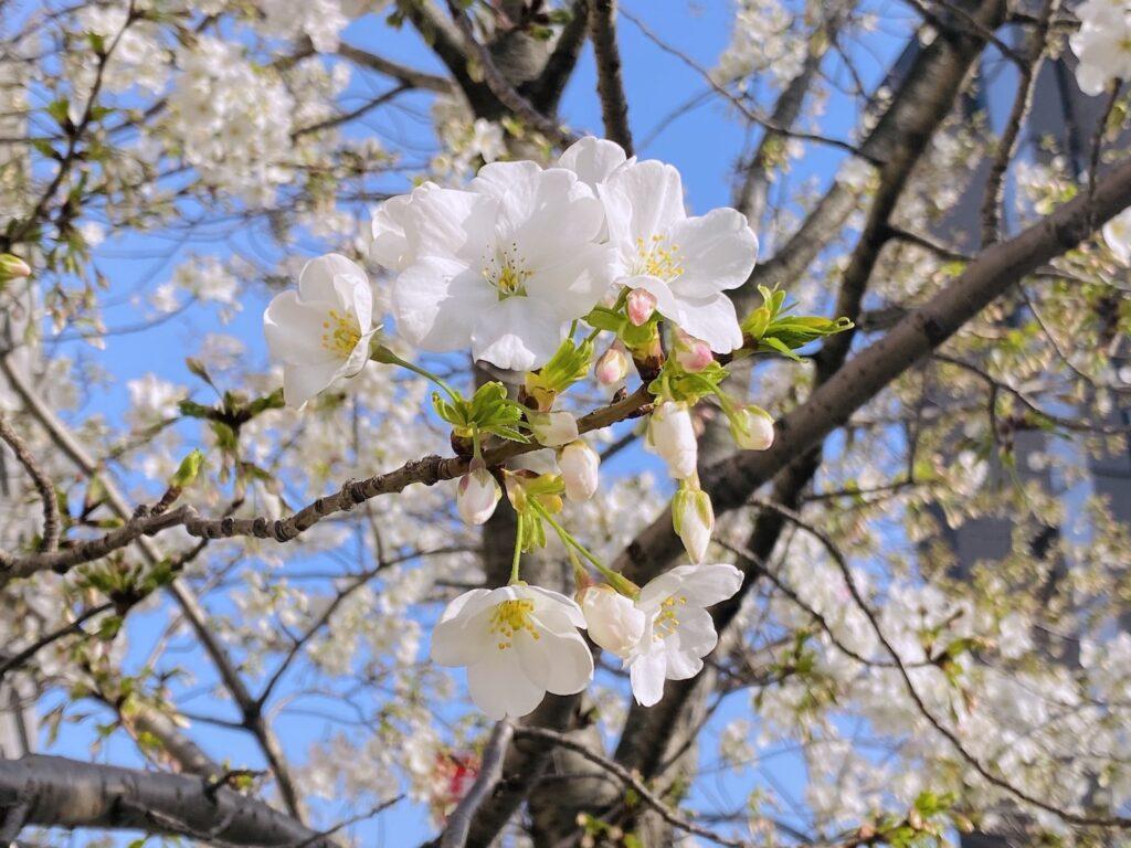 IMG_0597日本櫻花開花-sakura